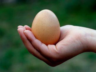 What Are Fertile Eggs?