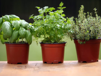 Go-to Herbs: Basil, Cilantro and Thyme