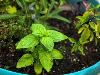 Inside My Herb Garden: Basil   Food & Nutrition   Stone Soup