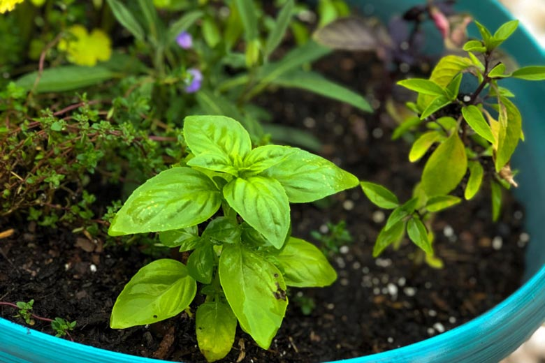 Inside My Herb Garden: Basil | Food & Nutrition | Stone Soup