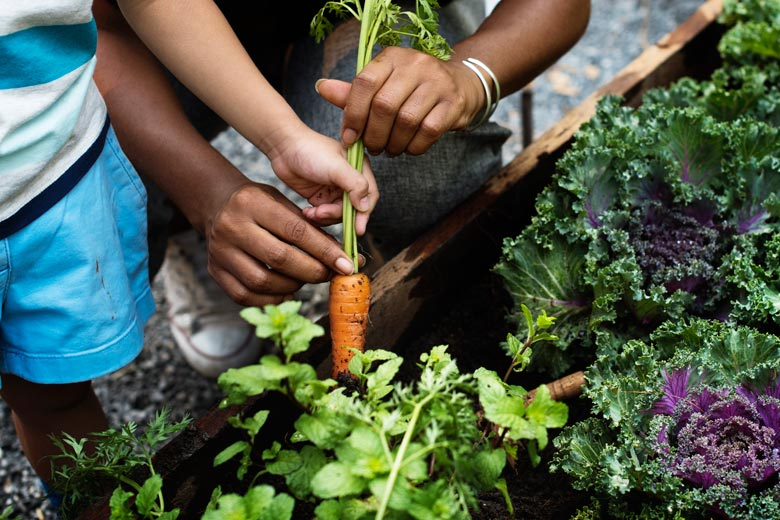 A closely cropped shot of children's hands pulling a carrot from the soil in a garden