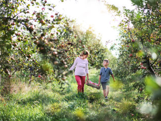 A senior Grandmother with grandson picking apples in orchard.