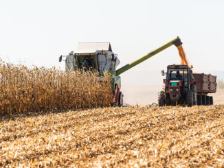 Pouring corn grain into tractor trailer after harvest at field