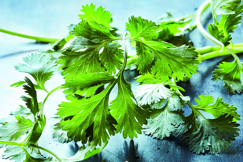 Fresh cilantro laying on a slate blue countertop