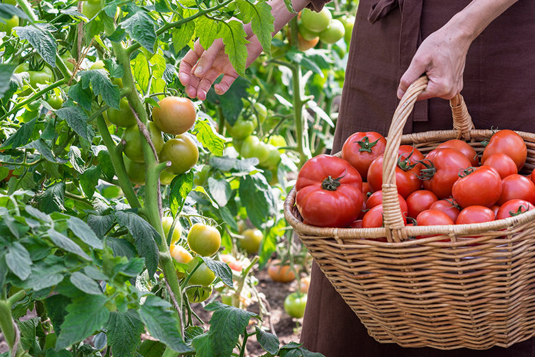 Woman is picking tomatoes in the greenhouse and puts into a basket; farming, gardening and agriculture, concept